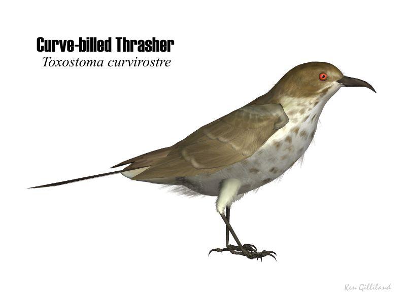 Curved Bill Thrasher Bird Name Curve Bill Thrasher
