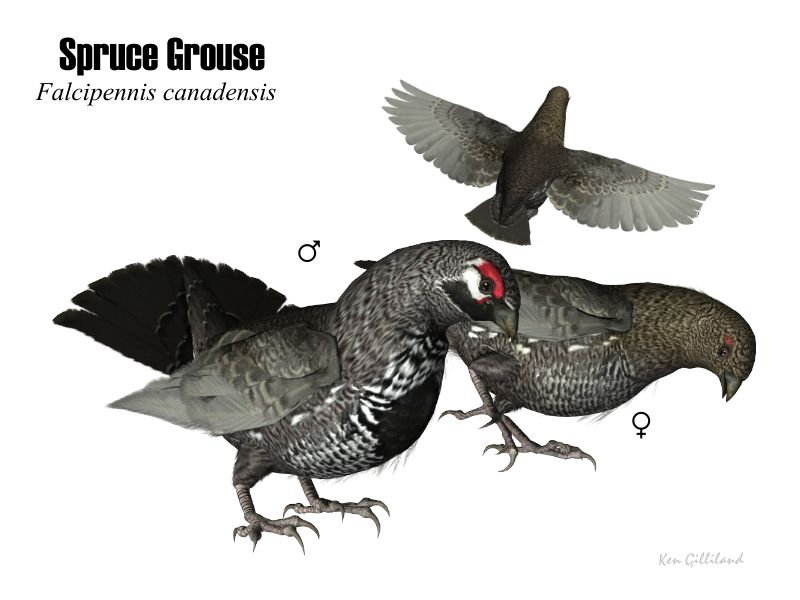 image: SpruceGrouse.jpg