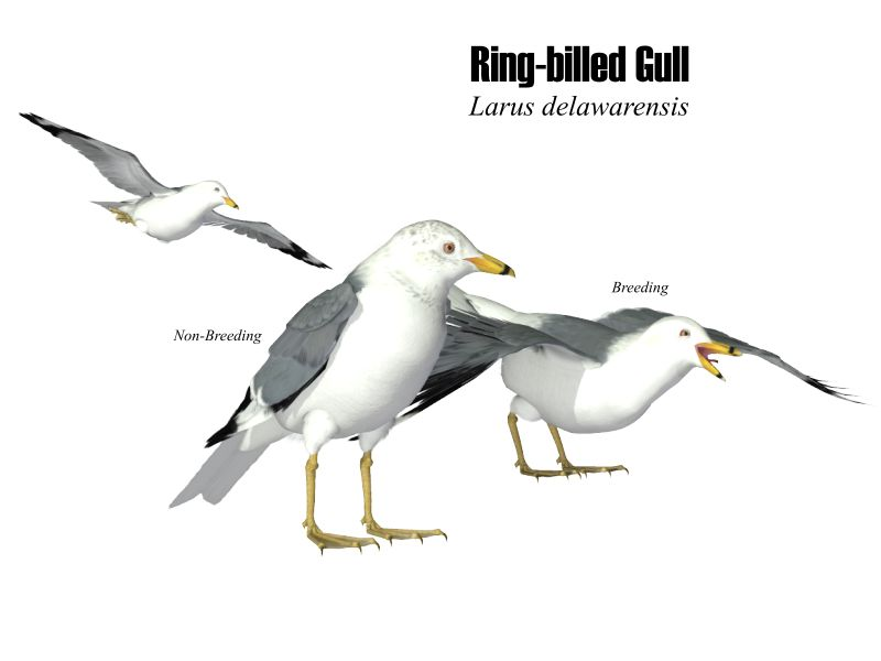 Image:Ring-billed gull.JPG