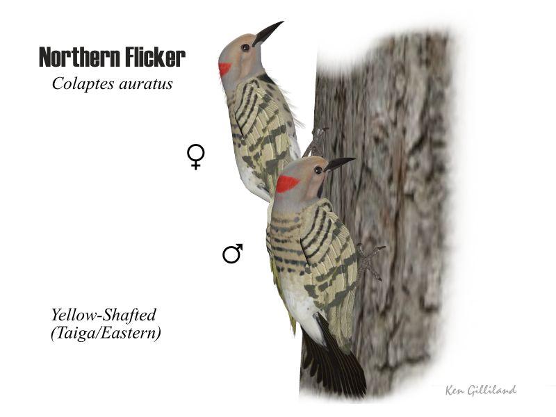 Northern Flicker Yellow Shafted Songbirdremixwiki