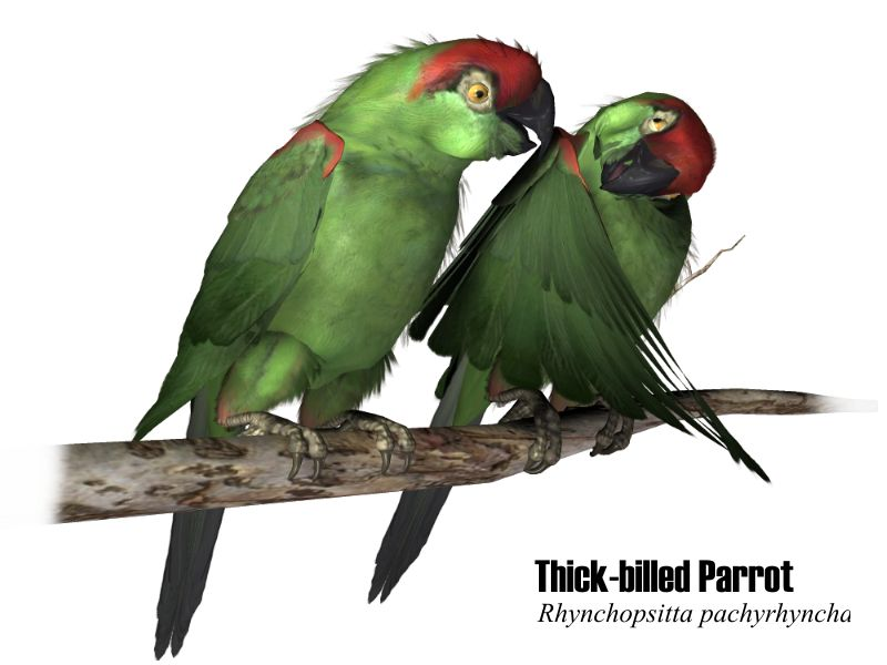 image: thick-billedparrot.jpg