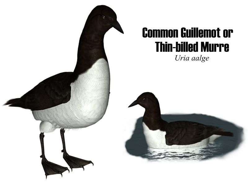 Image:Commonguillemot.jpg