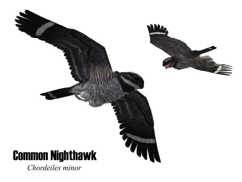 Image:CommonNighthawk.jpg