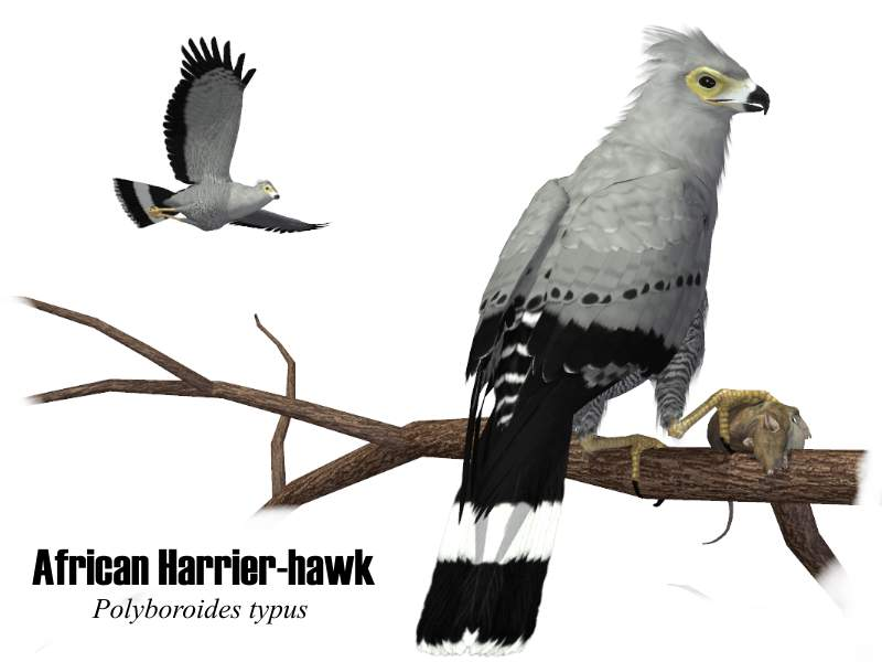 Image:African Harrier-hawk.jpg