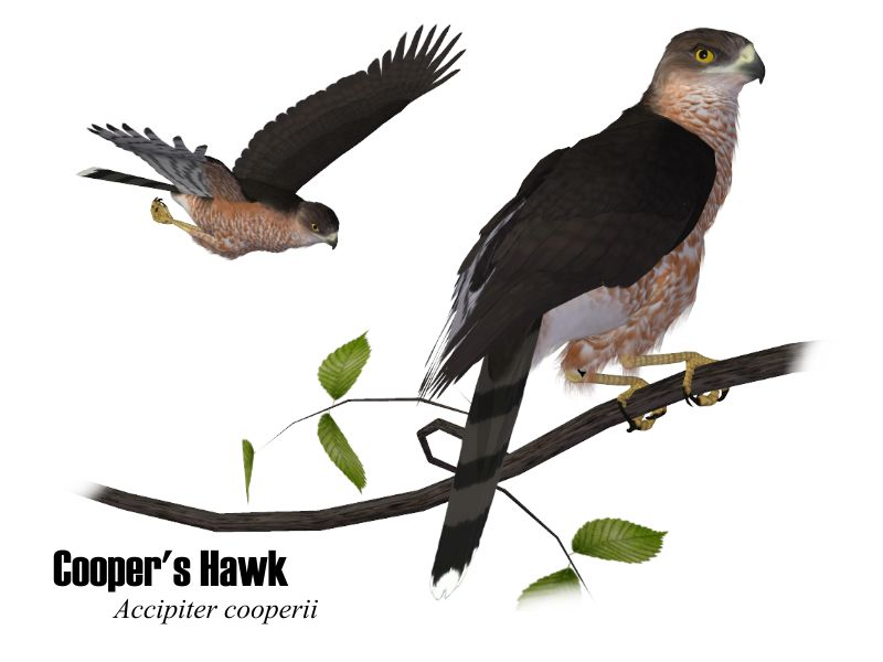 Image:CoopersHawk.jpg