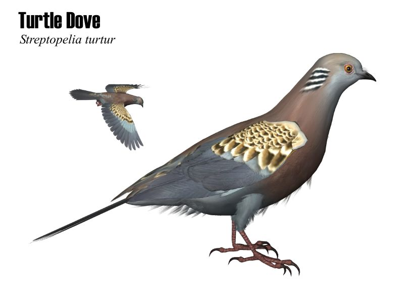 Image:Turtledove.JPG