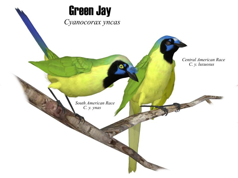 Image:Green Jays.JPG