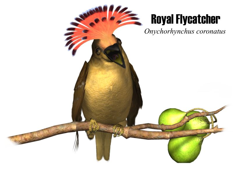 Image:Royal-flycatcher.jpg