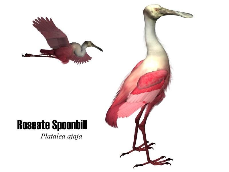 Image:Rspoonbill.jpg
