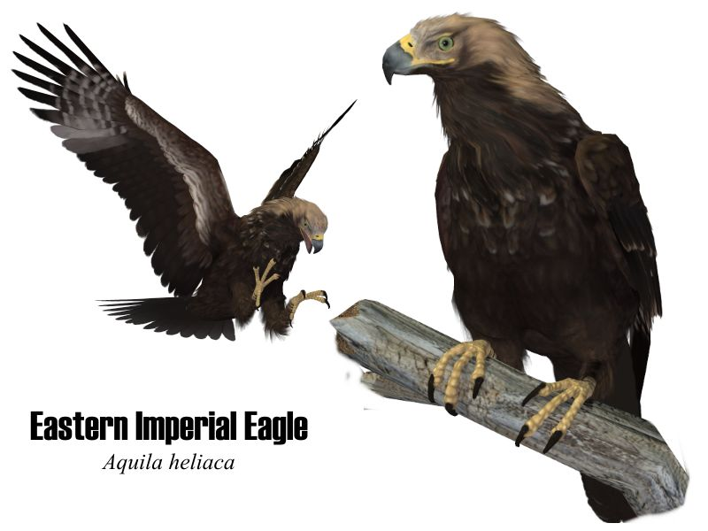 Image:EasternImperialEagle.jpg