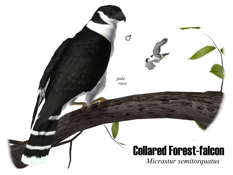 Image:Collared Forest-falcon.JPG