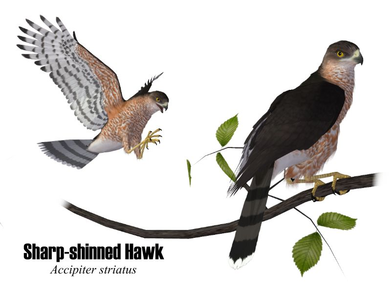 Image:SharpshinnedHawk.jpg