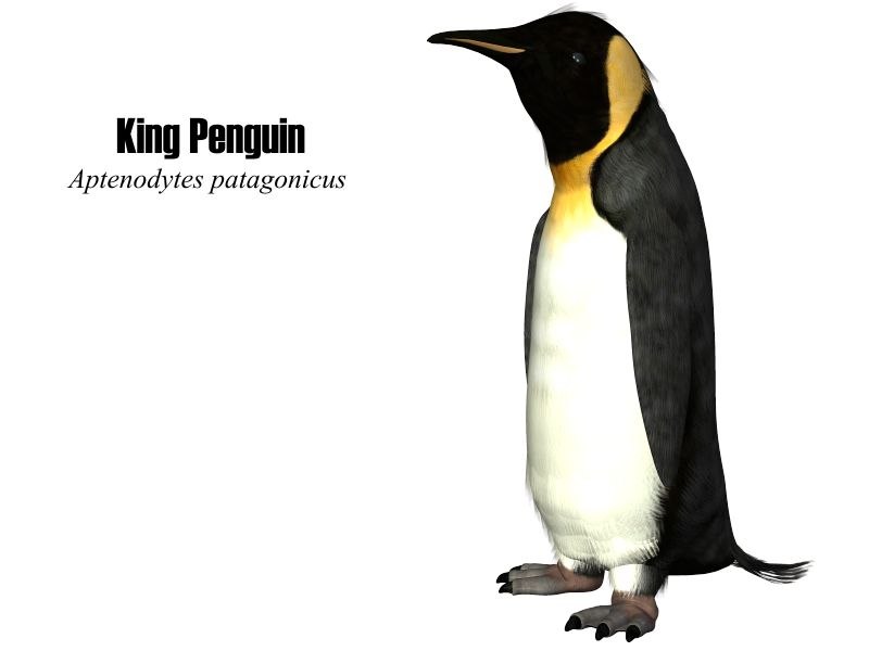 image: KingPenguin.jpg