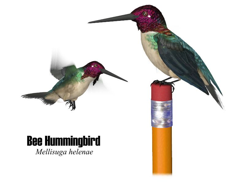 Bee Hummingbird Size Pictures to Pin on Pinterest - PinsDaddy