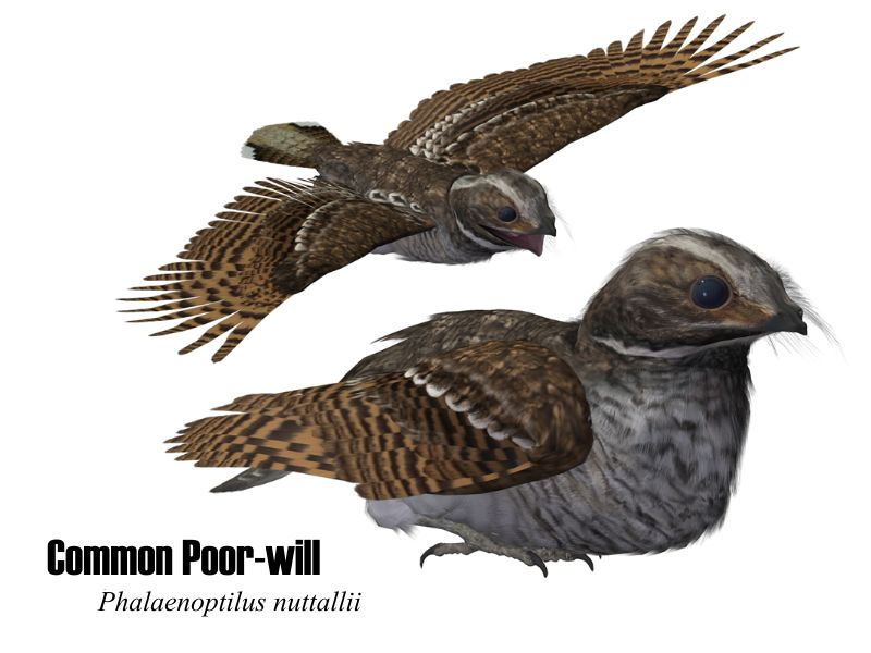 Image:CommonPoorwill.jpg