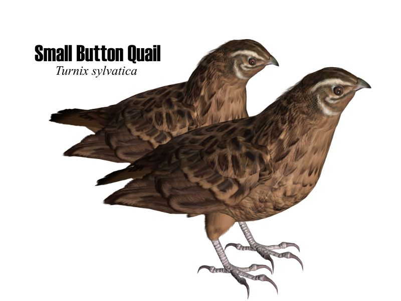 image: smbuttonquail.jpg